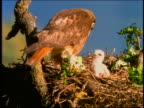Hawk feeding 2 baby birds sitting in nest in tree