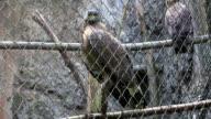 Hawk in Käfig