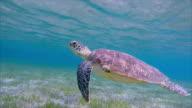 Hawksbill sea turtle grazing on seagrass bed / Marsa Alam