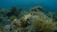 Hawksbill sea turtle swimming in coral reef, Indonesia (4K)