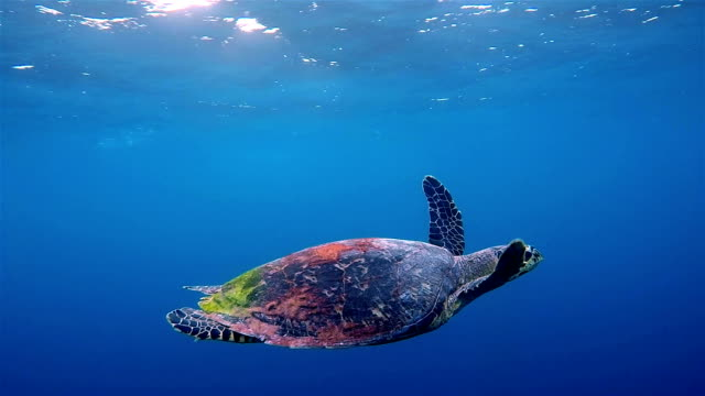Hawksbill sea turtle swimming on deep blue ocean
