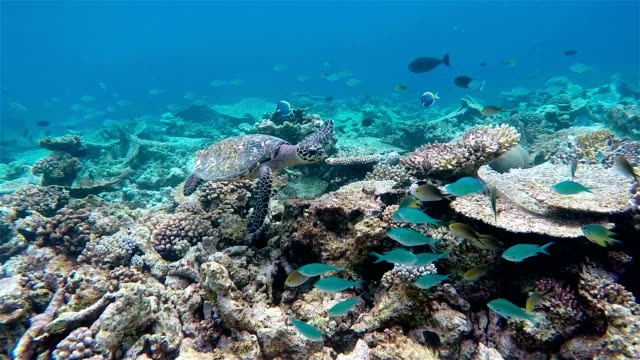 Hawksbill sea turtle swimming on tropical coral reef - Maldives