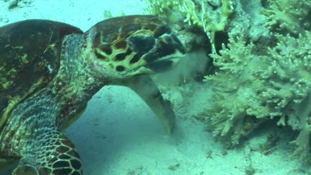 Hawksbill turtle (Eretmochelys imbricata). Endangered species. feeding. Red Sea