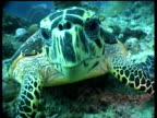 CU Hawksbill Turtle feeding and chewing on reef, looking into camera, front view, Sipadan, Borneo, Malaysia