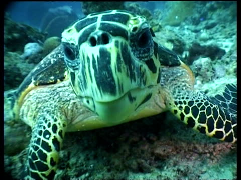 CU Hawksbill Turtle feeding and chewing on reef, looking into camera, front view, Sipadan, Borneo, Malaysia