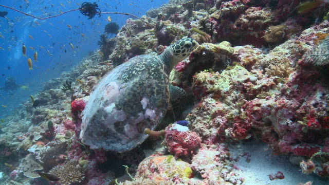 Hawksbill Turtle (Eretmochelys imbricata) feeding on coral reef wall: Checkerboard Wrasse (Halichoeres hortulanus) swims nearby, Vaavu Atoll, The Maldives