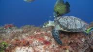 MS Hawksbill turtle feeding on reef / Playa del Carmen, Isla Mujeres, Mexico