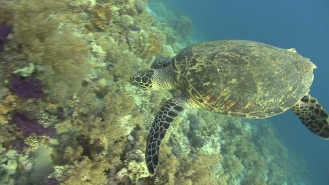 Hawksbill turtle (Eretmochelys imbiocota) lands on reef, Red sea, Egypt