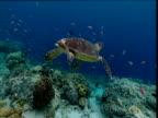 Hawksbill turtle swims away from camera, Sipadan