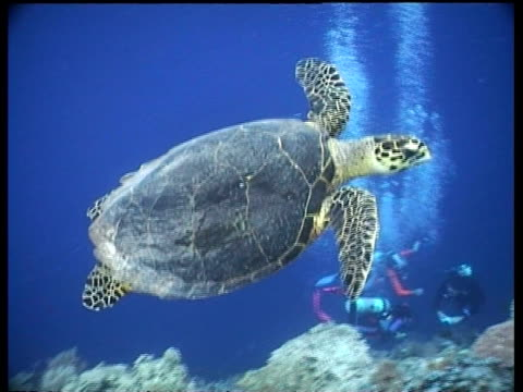 MS Hawksbill turtle swims left to right across coral reef, Divers gathered below, Borneo