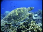 CU Hawksbill Turtle swims over reef, side view, track right, Layang Layang, Malaysia