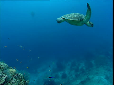 Hawksbill turtle swims over reef then drifts downwards to land on reef, Sipadan