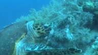 Hawksbill turtle (Eretmochelys imbriocota) tearing at soft coral, Red sea, Egypt