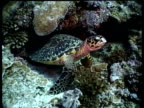 MS Hawksbill Turtle yawning in reef crevice, moves over reef, Layang Layang, Malaysia