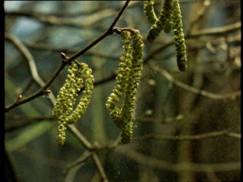 Hazel catkins shed pollen in breeze.