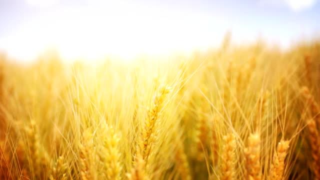 HD1080: Reife Weizen, Nahaufnahme, statische