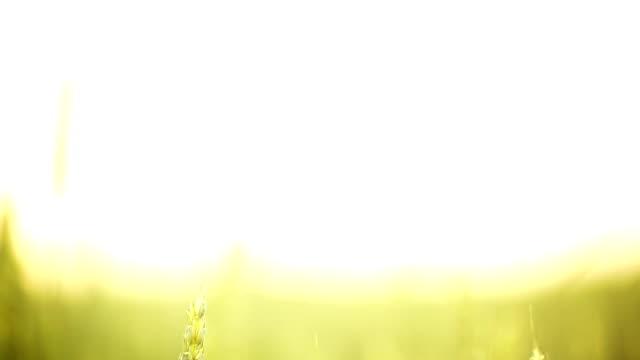 HD1080:Wheat field,vertical pan