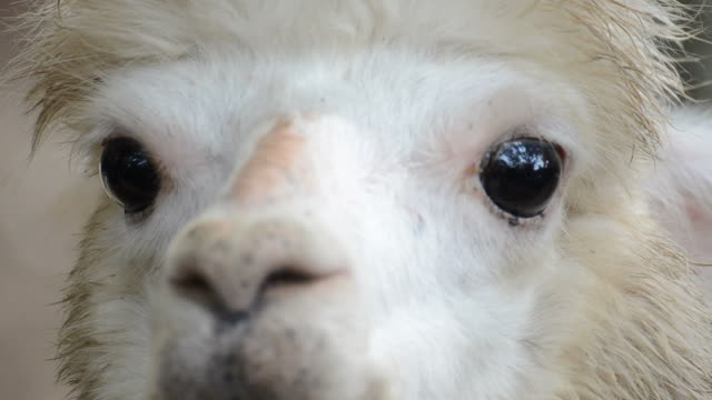 HD:Alpaca close-up in south africa