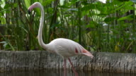 HD:American Flamingo in nature