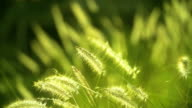 HD:Autumn natuur natuurlijke achtergrond van droog gras. Bokeh, Boke gras met zonlicht kleuren Toned