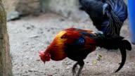 HD:Chicken in nature.