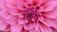 HD:Close up pink Dahlia flower