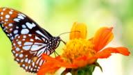 HD: primo piano bella farfalla.