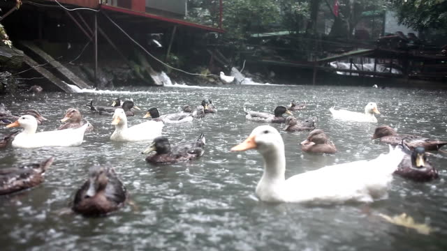 HD:Ducks Under the Rain
