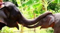 HD: saudação de elefante com Tromba.