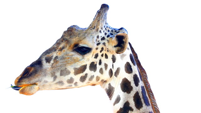 HD:Giraffe head isolate on white.