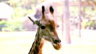 HD:Giraffe