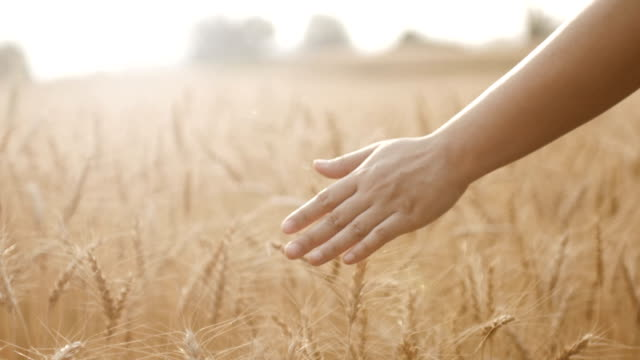 HD:Golden wheat field with woman hand walking in barley field , close-up , Slow motion