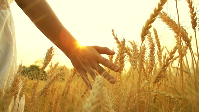 HD:Hand of young woman in summer sunset at wheat field.