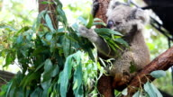 HD:Koala eating some eucalyptus leaf.