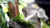 HD:Koala eating some eucalyptus leaves.