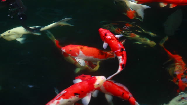 HD:Koi Carps Fish Japanese swimming (Cyprinus carpio).