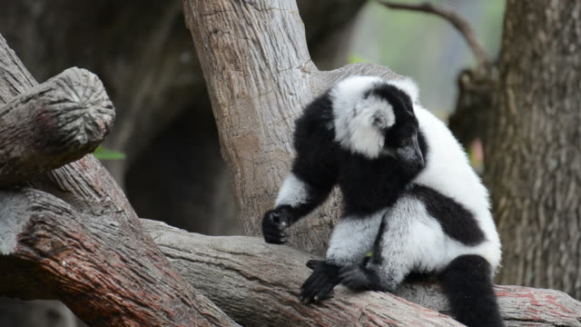 HD:Lemur black and white