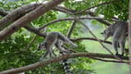 HD: Maki Ring-tailed in der Natur