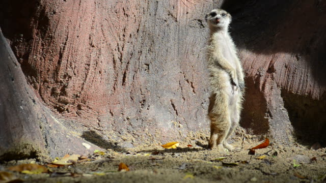 HD:Meerkat animal in wildlife sanctuary