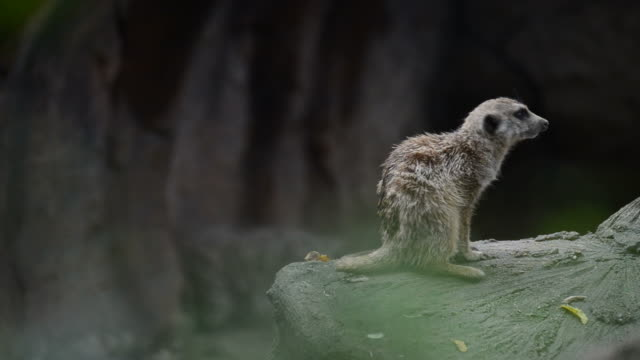 HD:meerkat dier in wildreservaat