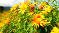 HD:Mexican Sunflower.