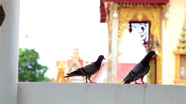 HD:Pigeons come and walk on the balcony.