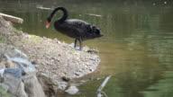 HD: swan, black swan in der Nähe des lake