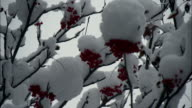 the snow closeup that had piled up on the rowan