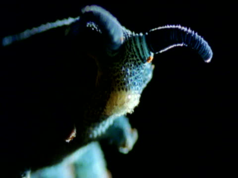 Head and antennae of velvet worm, New South Wales