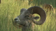 Head and curled horns of big horn sheep nestled in grass, turns head to viewer, Canadian Rocky Mountains Park, Canada