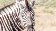 CS Head Of A Zebra