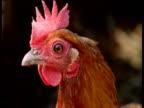 Head of alert chicken peers around, UK
