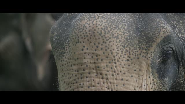 Head of an Asian Elephant