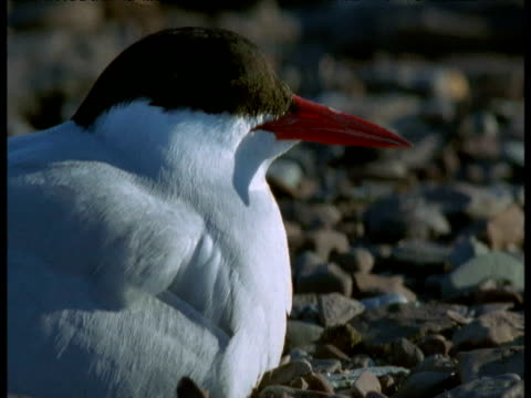 Head of arctic tern nesting on pebbles, Svalbard